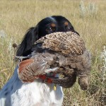 My English Setter retrieving a Hungarian partridge on the Schauer ranch in South Dakota
